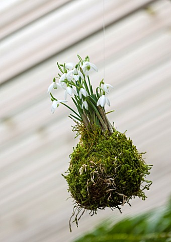 CHELSEA_PHYSIC_GARDEN_LONDON_SNOWDROPS__GALANTHUS_NIVALS__PLANTED_IN_MOSS_HANGS_FROM_THE_FERNERY_ROO