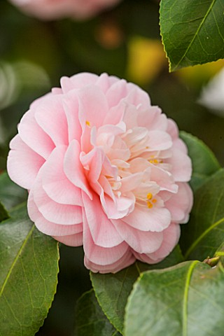 CHISWICK_HOUSE_CAMELLIA_SHOW__COLLECTION_CHISWICK_HOUSE_AND_GARDENS_LONDON_CLOSE_UP_PLANT_PORTRAIT_O