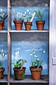 RODE HALL AND GARDENS, CHESHIRE: SNOWDROP THEATRE MADE OUT OF WARDROBE PAINTED PURPLE / BLUE WITH SNOWDROPS AND FERNS IN TERRACOTTA POTS. BULB, BULBS, WINTER, CLASSIC, GALANTHUS