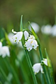 RODE HALL AND GARDENS, CHESHIRE: CLOSE UP PLANT PORTRAIT OF WHITE FLOWERS OF LEUCOJUM AESTIVUM. GIANT SNOWDROP, LODDON LILY, SUMMER SNOWFLAKE. BULB, FEBRUARY, WINTER
