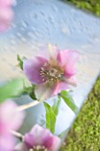 RODE HALL AND GARDENS, CHESHIRE: HELLEBORE FACE REFLECTED IN A SQURE MIRROR ON THE GROUND