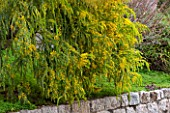 CLOS DU PEYRONNET, MENTON, FRANCE: MIMOSAS - ACACIA VESTITA - HAIRY WATTLE IN FULL FLOWER ALONG STONE WALL AT DAWN. SUNRISE, GOLDEN LIGHT, SHRUB. FEBRUARY, MEDITERRANEAN, GARDEN