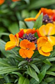 RHS GARDEN, WISLEY, SURREY: CLOSE UP PLANT PORTRAIT OF ORANGE FLOWERS OF ERYSIMUM RYSI COPPER. WALLFLOWER, FLOWER, PLANT, BIENNIAL, EARLY SPRING