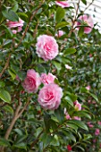 CHATSWORTH HOUSE, DERBYSHIRE: PINK FLOWERS OF CAMELLIA X WILLIAMSII E G WATERHOUSE IN THE GREENHOUSE BUILT FOR FIRST DUKE OF DEVONSHIRE - IT HOUSES PART OF THE CAMELLIA COLLECTION