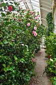 CHATSWORTH HOUSE, DERBYSHIRE: CAMELLIAS IN THE GREENHOUSE BUILT FOR FIRST DUKE OF DEVONSHIRE - IT HOUSES PART OF THE CAMELLIA COLLECTION. GLASS HOUSE, GLASSHOUSE, BUILDING,