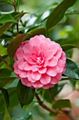 CHATSWORTH HOUSE, DERBYSHIRE: CLOSE UP OF THE PINK FLOWER OF CAMELLIA JAPONICA MADAME LEBOIS. PLANT PORTRAIT, SHRUB, MARCH