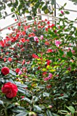 CHATSWORTH HOUSE, DERBYSHIRE: CAMELLIAS IN THE GREENHOUSE BUILT FOR FIRST DUKE OF DEVONSHIRE - GLASS HOUSE, GLASSHOUSE, BUILDING, ARCHITECTURE