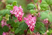 CLOSE UP PLANT PORTRAIT OF THE PINK FLOWER OF RIBES SANGUINEUM LOMBARTSII. FLOWERING,  CURRANT, FLOWERS, RED, SHRUB, SHRUBS, PALE, PASTEL