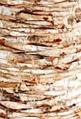 CLOSE UP PLANT PORTRAIT OF THE BARK OF DRACAENA CINNABARI. TRUNK, ABSTRACT, PATTERN