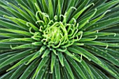 CLOSE UP PLANT PORTRAIT OF THE FOLIAGE OF ECHIUM WILDPRETII. TOWER OF JEWELS, TENERIFE BUGLOSS. ABSTRACT, PATTERN