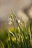 PETTIFERS, OXFORDSHIRE: DESIGNED  BY GINA PRICE: CLOSE UP PLANT PORTRAIT OF THE WHITE AND GREEN FLOWER OF LEUCOJUM AESTIVUM GRAVETYE GIANT - BULB, FLOWERING, APRIL, SPRING