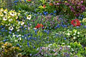 PETTIFERS, OXFORDSHIRE: DESIGNED  BY GINA PRICE: COLOURFUL SPRING BORDER WITH HELLEBORES, MUSCARI AND PRIMULAS. BULB, BULBS, APRIL, PLANT COMBINATION, PLANT ASSOCIATION