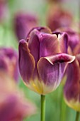 KEUKENHOF GARDENS, HOLLAND: THE NETHERLANDS - CLOSE UP PLANT PORTRAIT OF MAUVE FLOWER OF TULIP - TULIPA LEX - BULB, BULBS, FLOWERS, MAY, SPRING