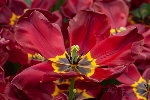 KEUKENHOF_GARDENS_HOLLAND_THE_NETHERLANDS__CLOSE_UP_PLANT_PORTRAIT_OF_DARK_RED_AND_YELLOW_FLOWER_OF_