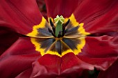 KEUKENHOF GARDENS, HOLLAND: THE NETHERLANDS - CLOSE UP PLANT PORTRAIT OF DARK RED AND YELLOW FLOWER OF TRIUMPHATOR TULIP - TULIPA KRASA  - BULB, BULBS, FLOWERS, MAY, SPRING, BROWN