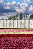 THE NETHERLANDS -  FIELDS OF TULIPS IN SPRING - HOLLAND, BULB, FIELD, FIELDS, GREENHOUSES, GLASSHOUSES, APRIL, MAY, FLOWERS, SHEET, SHEETS, RED, PINK