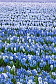 THE NETHERLANDS -  FIELD OF BLUE HYACINTHS IN SPRING - HOLLAND, BULB, FIELD, FIELDS, APRIL, MAY, FLOWERS, SHEET, SHEETS