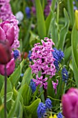 KEUKENHOF GARDENS, HOLLAND: THE NETHERLANDS - CLOSE UP PLANT PORTRAIT OF THE PINK FLOWER OF A HYACINTH - HYACINTHUS PAUL HERMAN - BULB, SPRING, PETALS, FLOWERS, MAY, FRAGRANT