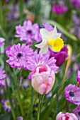 KEUKENHOF GARDENS, HOLLAND: THE NETHERLANDS - PLANT ASSOCIATION IN SPRING - NARCISSUS PEEPING JENNY, ANEMONE CORONARIA DUBBEL ADMIRAL, BULBS, MAY
