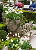 DESIGNER STEPHEN WOODHAMS, LONDON: FORMAL TOWN GARDEN - FRONT GARDEN - BENCH / SEAT, BOX TOPIARY AND CONTAINER PLANTED WITH WHITE TULIPS PURISSIMA AND HYACINTH WHITE PEARL
