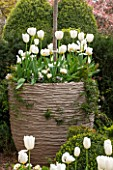 DESIGNER STEPHEN WOODHAMS, LONDON: FORMAL TOWN GARDEN - FRONT GARDEN - BOX TOPIARY AND CONTAINER PLANTED WITH WHITE TULIPS PURISSIMA AND HYACINTH WHITE PEARL