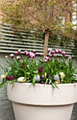 DESIGNER STEPHEN WOODHAMS, LONDON: SMALL BACK GARDEN - CONTAINER IN SPRING - TULIP REMS FAVOURITE AND FONTAINBLEAU, HYACINTH  WOODSTOCK AND HYACINTH BLUE EYES. TRELLIS, BACK GARDEN
