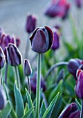 ULTING WICK, ESSEX: CLOSE UP PLANT PORTRAIT OF TULIP - TULIPA PAUL SCHERER - FLOWER, BLACK, PURPLE, PLUM, BULB, SPRING, APRIL