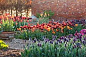 ULTING WICK, ESSEX: SPRING PLANTING IN THE KITCHEN GARDEN - TULIPS IN RAISED BEDS - CUTTING, GARDEN, FLOWERS, FLOWER, PETALS, MAY, BULBS, ABU HASSAN, CAIRO, PAUL SCHERER