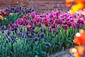 ULTING WICK, ESSEX: SPRING PLANTING IN THE KITCHEN GARDEN - TULIPS IN RAISED BEDS - CUTTING, GARDEN, FLOWERS, FLOWER, PETALS, MAY, BULBS, PAUL SCHERER, RECREADO, MERLOT