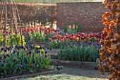 ULTING WICK, ESSEX: SPRING PLANTING IN THE KITCHEN GARDEN - TULIPS IN RAISED BEDS - CUTTING, GARDEN, FLOWERS, FLOWER, PETALS, MAY, BULBS, PAUL SCHERER, RECREADO, MERLOT, ABU HASSAN