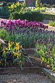 ULTING WICK, ESSEX: RAISED BED IN SPRING PLANTED WITH TULIPS - TULIPA PAUL SCHERER, TULIPA RECREADO, TULIPA MERLOT. APRIL, BULBS