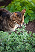 BROUGHTON GRANGE, OXFORDSHIRE: CAT SMELLING CATMINT - ANIMAL, GARDEN