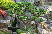 RHS GARDEN, WISLEY, SURREY: ROCK GARDEN - CLOUD PRUNED CLIPPED TOPIARY LARIX KAEMPFERI - SPRING, JAPANESE, JAPAN, SHRUB, LARCH, DECIDUOUS, SPRING, SUMMER, TREE, CONIFER