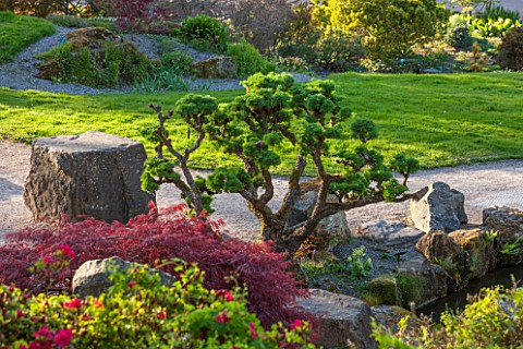RHS_GARDEN_WISLEY_SURREY_ROCK_GARDEN__CLOUD_PRUNED_CLIPPED_TOPIARY_LARIX_KAEMPFERI__SPRING_JAPANESE_