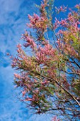 LA JEG, PROVENCE, FRANCE: DESIGNER ANTHONY PAUL - CLOSE UP PLANT PORTRAIT OF THE PINK FLOWERS OF TAMARISK. SPRING. MEDITERRANEAN, DECIDUOUS, TREE, SHRUB