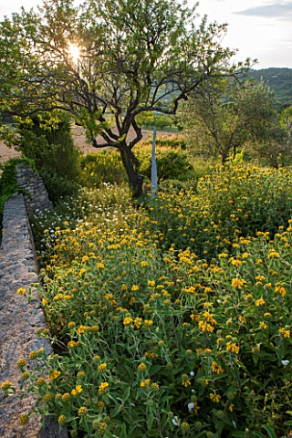 LA_JEG_PROVENCE_FRANCE_WILD_GARDEN__WALL_WITH_YELLOW_FLOWERS_OF_PHLOMIS_FRUTICOSA_IN_SPRING_WITH_SCU