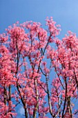 RHS GARDEN, WISLEY, SURREY: PLANT PORTRAIT OF THE PINK FLOWER OF TOONA SINENSIS FLAMINGO - CEDAR, MAHOGANY, MAY, EARLY SUMMER, SPRING, LEAVES, FOLIAGE, TREES, BLUE, SKY