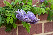 RHS GARDEN, WISLEY, SURREY: PLANT PORTRAIT OF THE LIGHT PURPLE FLOWER OF WISTERIA MACROSTACHYA AUNT DEE. SCENT, SCENTED, CLIMBER, SPRING, FRAGRANT, DECIDUOUS, SHRUB, WALL