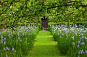 BRYANS GROUND, HEREFORDSHIRE: THE ORCHARD IN LATE SPRING WITH APPLE TREES AND BLUE FLOWERS OF IRIS SIBIRICA PAPILLON - SPRING, COUNTRY GARDEN, FLOWERING, GRASS, PATH