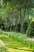 BRYANS GROUND, HEREFORDSHIRE: CRICKET WOOD - THE POPLAR AVENUE - GRASS PATH PAST COW PARSLEY, WHITE POPLARS - POPULUS ALBA - CLIPPED TOPIARY YEWS, WOODLAND, WOODS, SPRING, GREEN