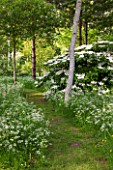 BRYANS GROUND, HEREFORDSHIRE: WHITE FLOWERS OF VIBURNUM AND COW PARSLEY IN CRICKET WOOD - WOODS, WOODLAND, SHADE, MAY, SPRING, WHITE POPLARS - POPULUS ALBA