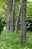 BRYANS GROUND, HEREFORDSHIRE: ROW OF WHITE POPLARS - POPULUS ALBA - AND COW PARSLEY IN CRICKET WOOD - WOODS, WOODLAND, SHADE, MAY, SPRING, BARK, TRUNK, TREE, TREES