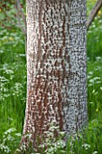 BRYANS GROUND, HEREFORDSHIRE: BARK OF A WHITE POPLAR - POPULUS ALBA - AND COW PARSLEY IN CRICKET WOOD - WOODS, WOODLAND, SHADE, MAY, SPRING, BARK, TRUNK, TREE, TREES