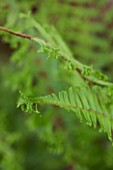 HOPE SHARP STORY, CHELSEA 2016: CLOSE UP PLANT PORTRAIT OF FERN -  DRYOPTERIS AFFINIS CRISTATA THE KING - GREEN, FOLIAGE, LEAF, LEAVES, SHADE, SHADY, MALE