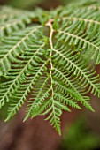 HOPE SHARP STORY, CHELSEA 2016: CLOSE UP PLANT PORTRAIT OF FERN -  CYATHEA COOPERI - GREEN, FOLIAGE, LEAF, LEAVES, SHADE, SHADY, FROND