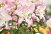 CLOSE UP PLANT PORTRAIT OF THE PINK AND WHITE FLOWERS OF ORIENTAL AND TRUMPET LILY  - LILIUM BIRILLO - BULB, SUMMER, FLOWERS, PETALS