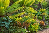 ARUNDEL CASTLE GARDENS, WEST SUSSEX: BORDER IN THE STUMPERY  WITH DICKSONIA ANTARCTICA. HOSTAS, FERN, FERNS, TREE FERN, TREE FERNS, SUMMER, GREEN