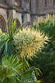 ARUNDEL CASTLE GARDENS, WEST SUSSEX: COLLECTOR EARLS GARDEN - YUCCA IN FLOWER - WHITE, CREAM, FLOWERS, SUMMER