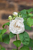 PRIVATE GARDEN LONDON DESIGNED BY LUCY WILLCOX AND ANA SANCHEZ MARTIN: CLOSE UP PORTRAIT WHITE FLOWER OF DAVID AUSTIN ROSE - ROSA WINCHESTER CATHEDRAL - SHRUB, FRAGRANT, SCENT