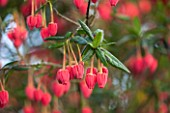 RHS GARDEN, WISLEY, SURREY: CLOSE UP PLANT PORTRAIT OF THE RED / PINK FLOWERS OF CRINODENDRON HOOKERIANUM - AGM, SHRUB, SUMMER, JUNE, HANGING, DANGLING